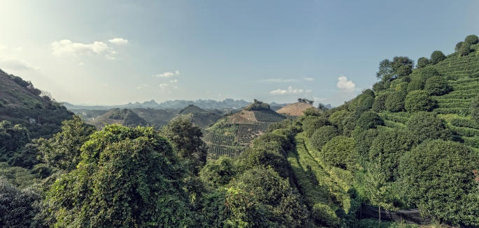 QiXianFeng tea plantation panorama