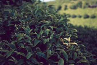 QiXianFeng Seven Star tea plantation tea bush