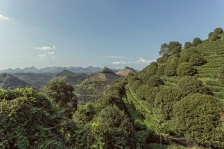 QiXianFeng Seven Star tea plantation